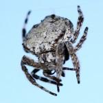 Bark_Spider_2011